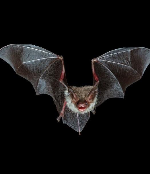 أمراض على أجنحة الخفافيش